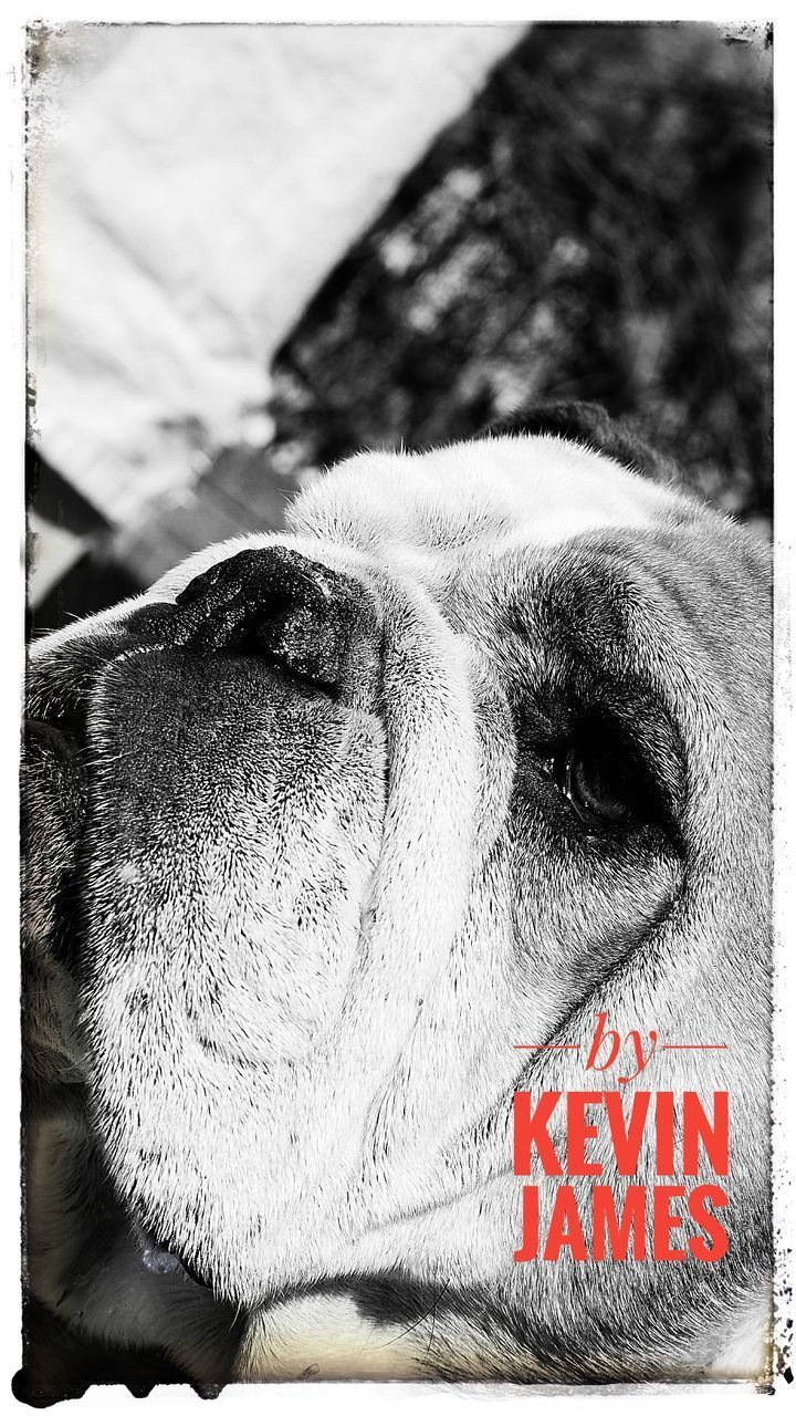 one animal, dog, animal themes, domestic animals, close-up, mammal, pets, no people, day, outdoors