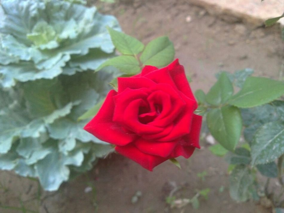 Beautiful red Damask rose 