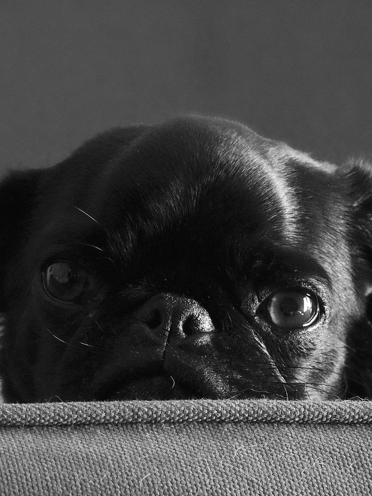another foster pug puppy My Dogs Are Cooler Than Your Kids Pugs Dogs Black & White