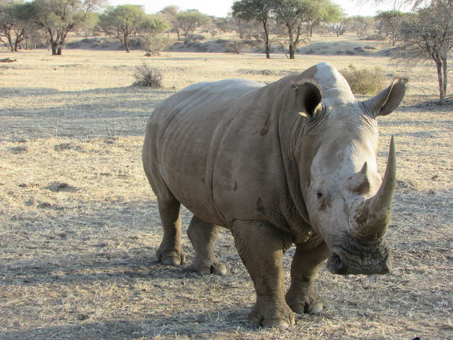 Animal Themes One Animal Field Mammal Full Length Domestic Animals Livestock Day Herbivorous Outdoors Nature Zoology Tranquility Tranquil Scene Zoo Animal Rhinoceros Rhino Bushveld Namibia WhiteRhino