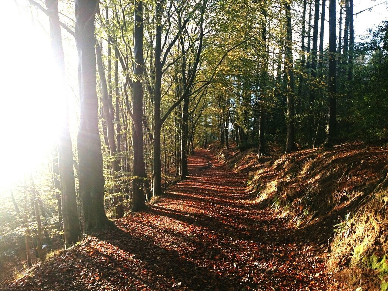tree, forest, the way forward, nature, tranquility, sunlight, tranquil scene, day, tree trunk, scenics, beauty in nature, landscape, woodland, growth, outdoors, no people