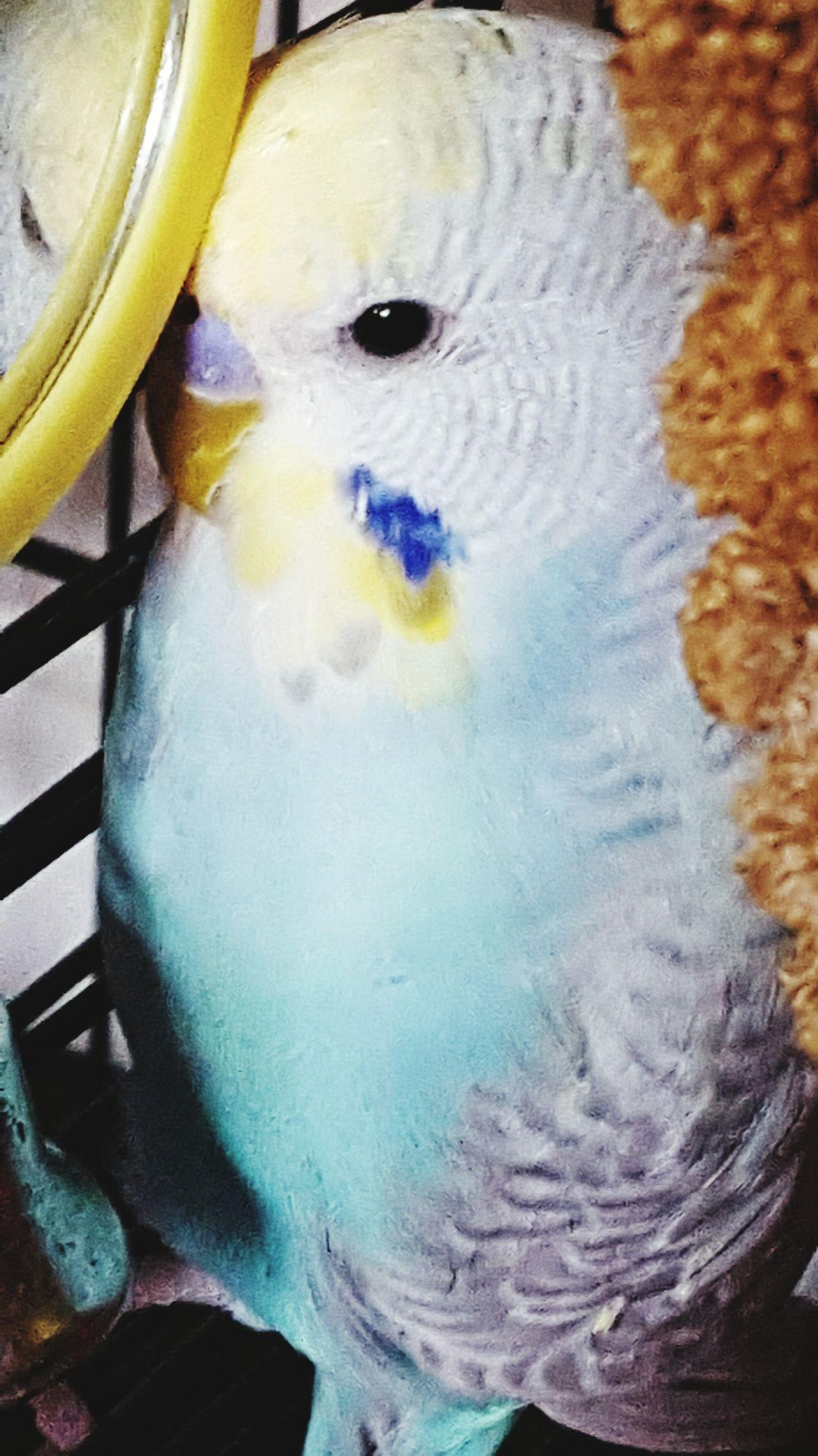 Darcy Budgielove Budgies EyeEm Birds Welovebudgies Birds_collection Bird Photography Our Feathered Friends Birds🐦⛅ My Pet
