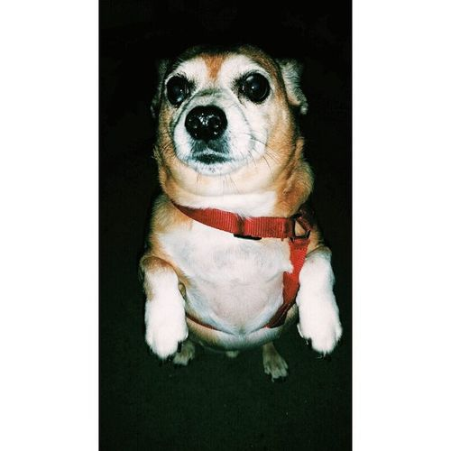 I miss you so much bubby. Can't wait to cuddle you again some day. ❤ RestinPeaceBubby Bubby Restinpeace Chihuahua Dachshund Chiweenie Mysatan Demon