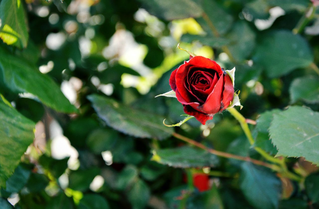 Bloody Rose Bokeh Light Green Nature Life For Me Is Just... Imperfectly Perfect Full Frame Shot EyeEm Nature Lover Thinking About Life Close Up Shadows And Sunlight Roses Are Red Power Of Nature