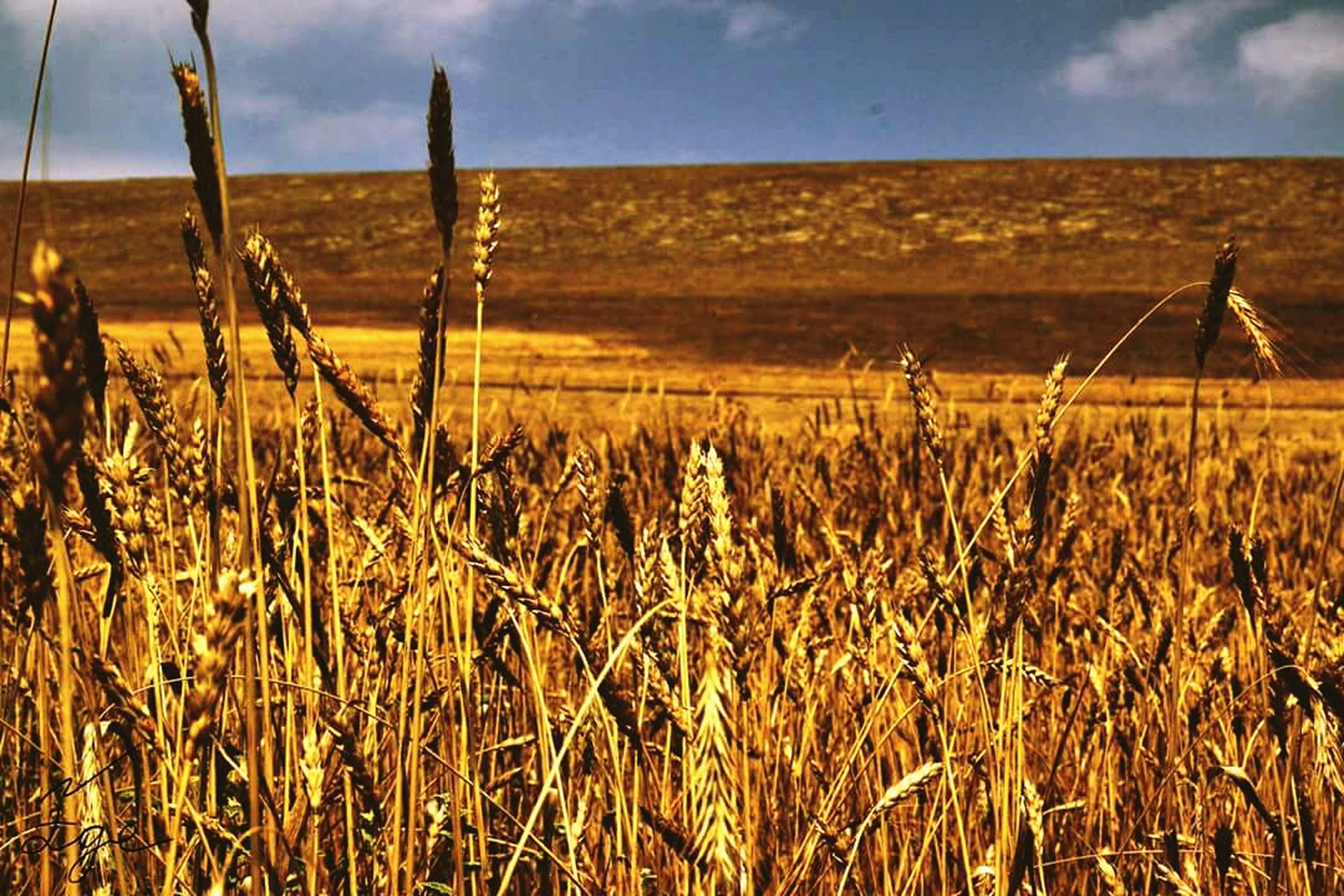 field, growth, rural scene, crop, landscape, agriculture, farm, tranquil scene, tranquility, plant, nature, scenics, cultivated land, brown, beauty in nature, plantation, cultivated, sky, non-urban scene, outdoors, wheat, focus on foreground, day, cereal plant, stalk, remote, farmland, no people, solitude, plant life