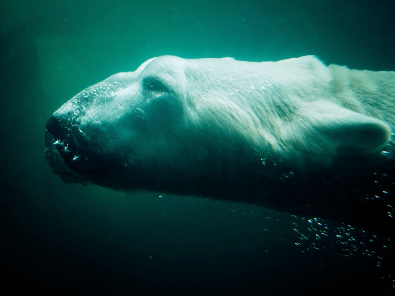 Beautiful stock photos of polar bear, Animal Head, Animal Themes, Animals In The Wild, Bubble