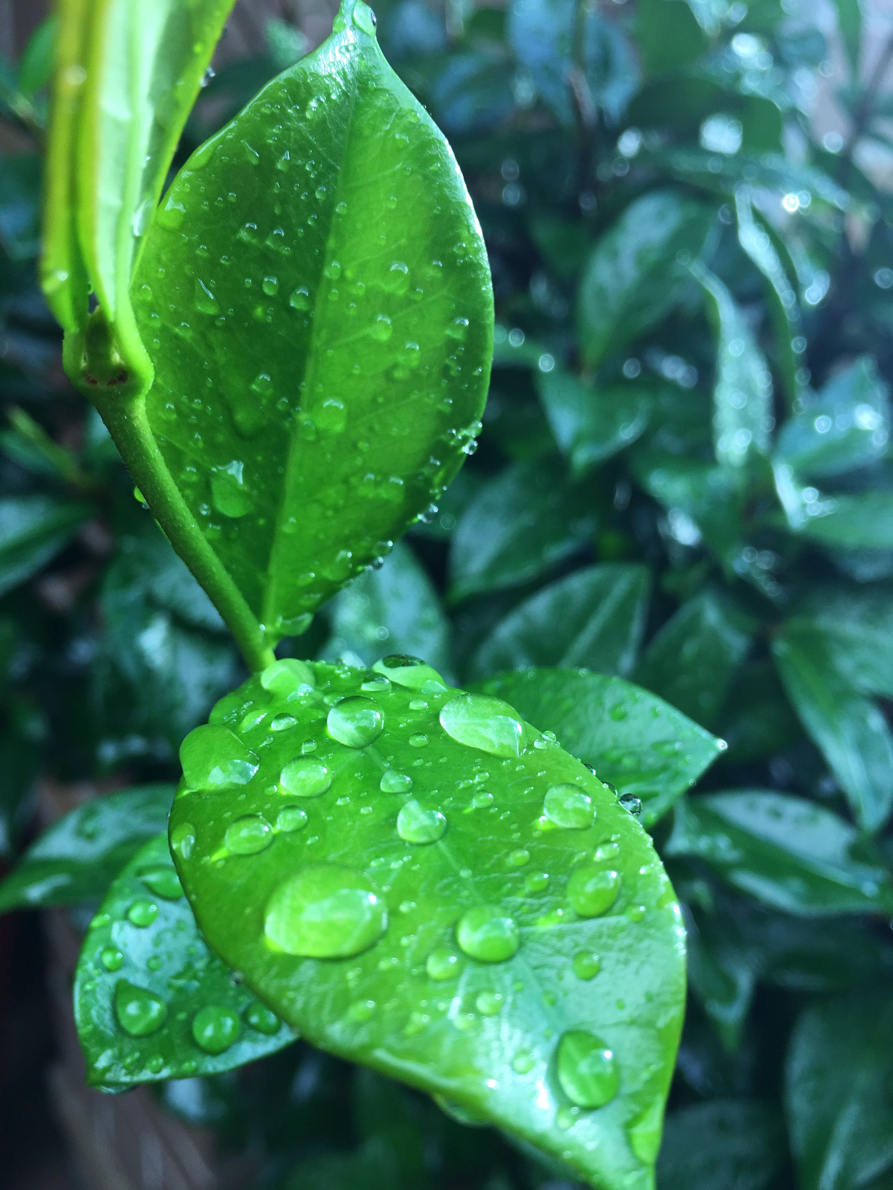 drop, nature, wet, water, green color, rain, growth, leaf, plant, dew, freshness, beauty in nature, close-up, raindrop, focus on foreground, rainy season, weather, fragility, purity, no people, outdoors, day, flower head