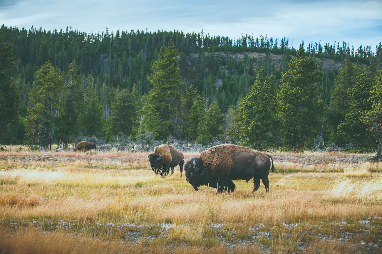 Bison grazing in Yellowstone National Park, Wyoming, USA Animals Animals In The Wild Bison Buffalo Grasslands Meadow National Park Nature Outdoors Trees Wildlife Yellowstone