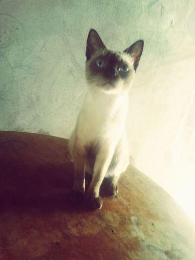 steve Domestic Cat Pets One Animal Domestic Animals Animal Themes Feline Mammal first eyeem photo
