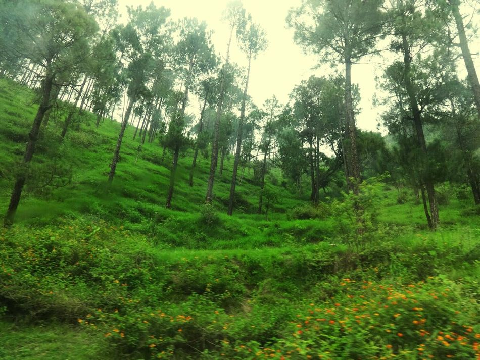 Tree Nature Green Color Tranquility Beauty In Nature Outdoors Growth No People Forest Tea Crop Scenics Rural Scene Landscape Grass Day Lush - Description Sky Lovely Tall Tall Trees Tall Tree Naturephotography Mother Nature Is Amazing Love <3 Greens TCPM