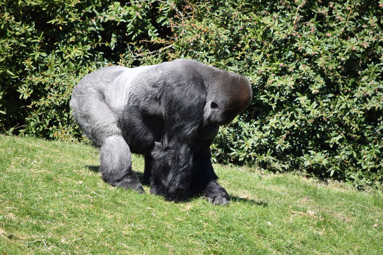 gorilla Animal Themes Beauval Day Domestic Animals Female Field Gorilla Gorille Grass Green Green Color Growth Male Mammal Monkey Nature No People One Animal Outdoors Pets Plant Power Primate Strong Zoo