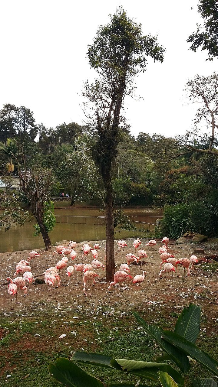 tree, nature, large group of animals, no people, animal themes, animals in the wild, day, bird, flamingo, outdoors, beauty in nature, plant, grass, sky