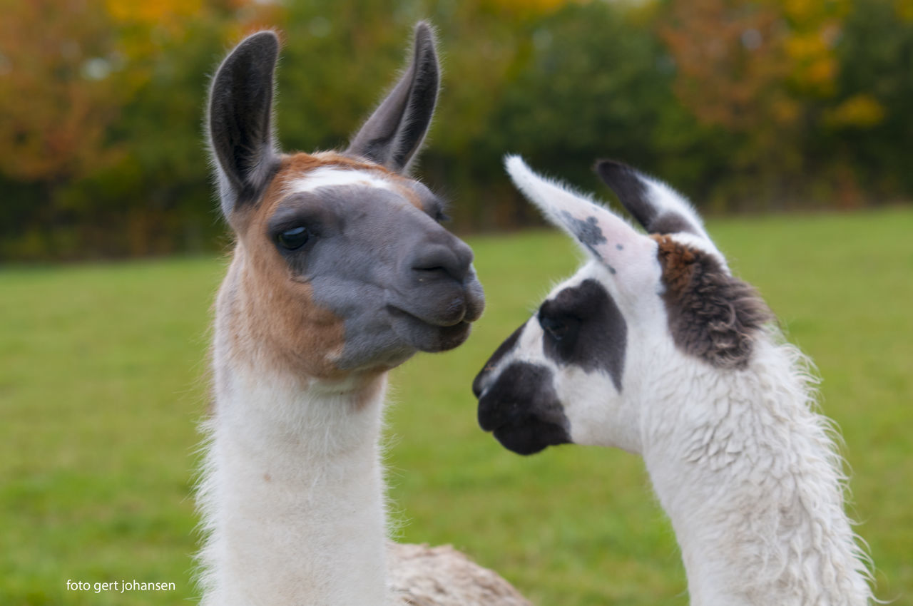 animal themes, two animals, mammal, focus on foreground, day, field, domestic animals, grass, outdoors, no people, nature, togetherness, livestock, llama, close-up, animals in the wild