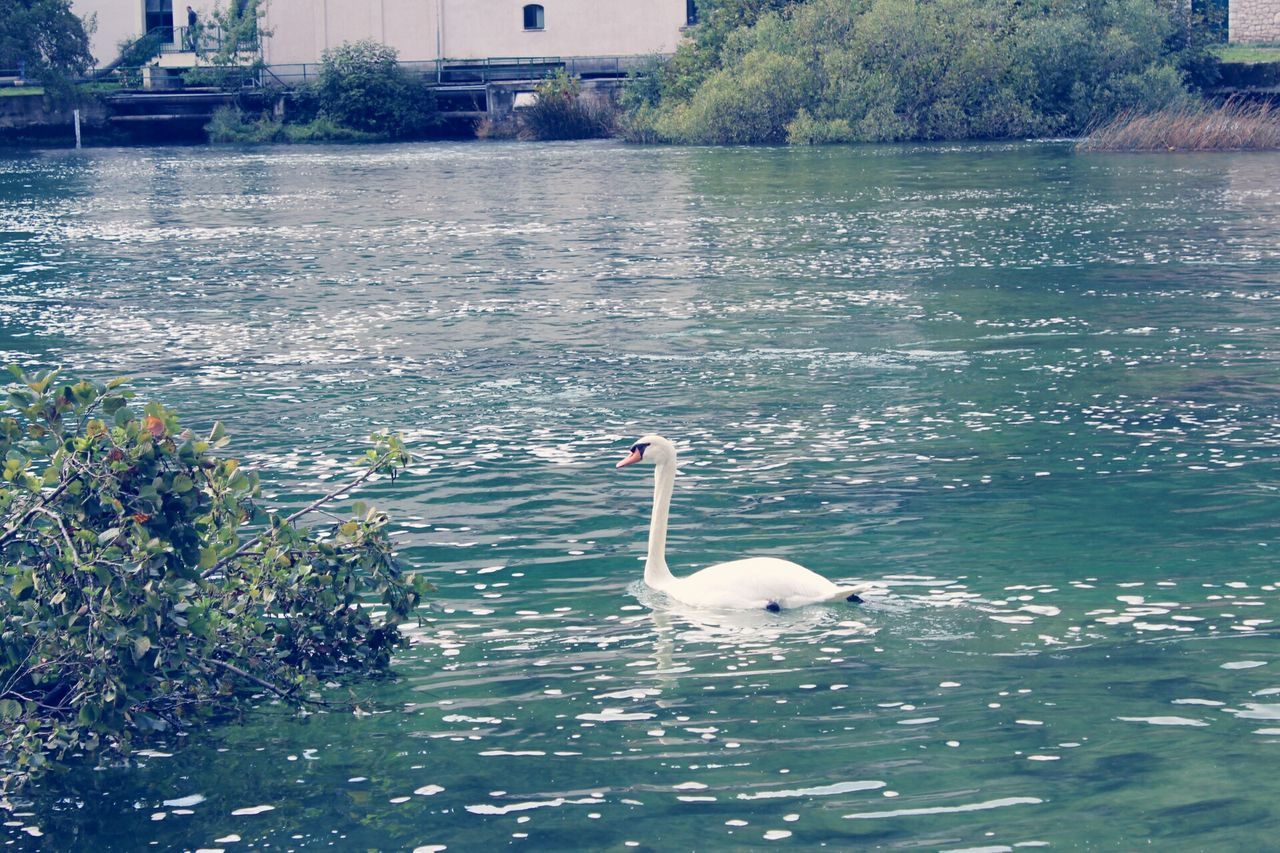water, animals in the wild, animal themes, swan, lake, swimming, nature, one animal, bird, day, waterfront, no people, water bird, animal wildlife, floating on water, beauty in nature, outdoors, tree