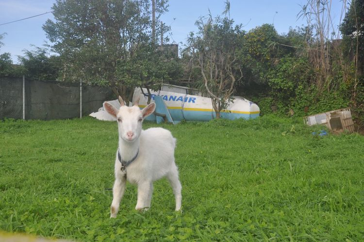 Animal Themes Domestic Animals Livestock Mammal Tree One Animal Young Animal Grass Goat Day Kid Goat No People Outdoors Pets Nature