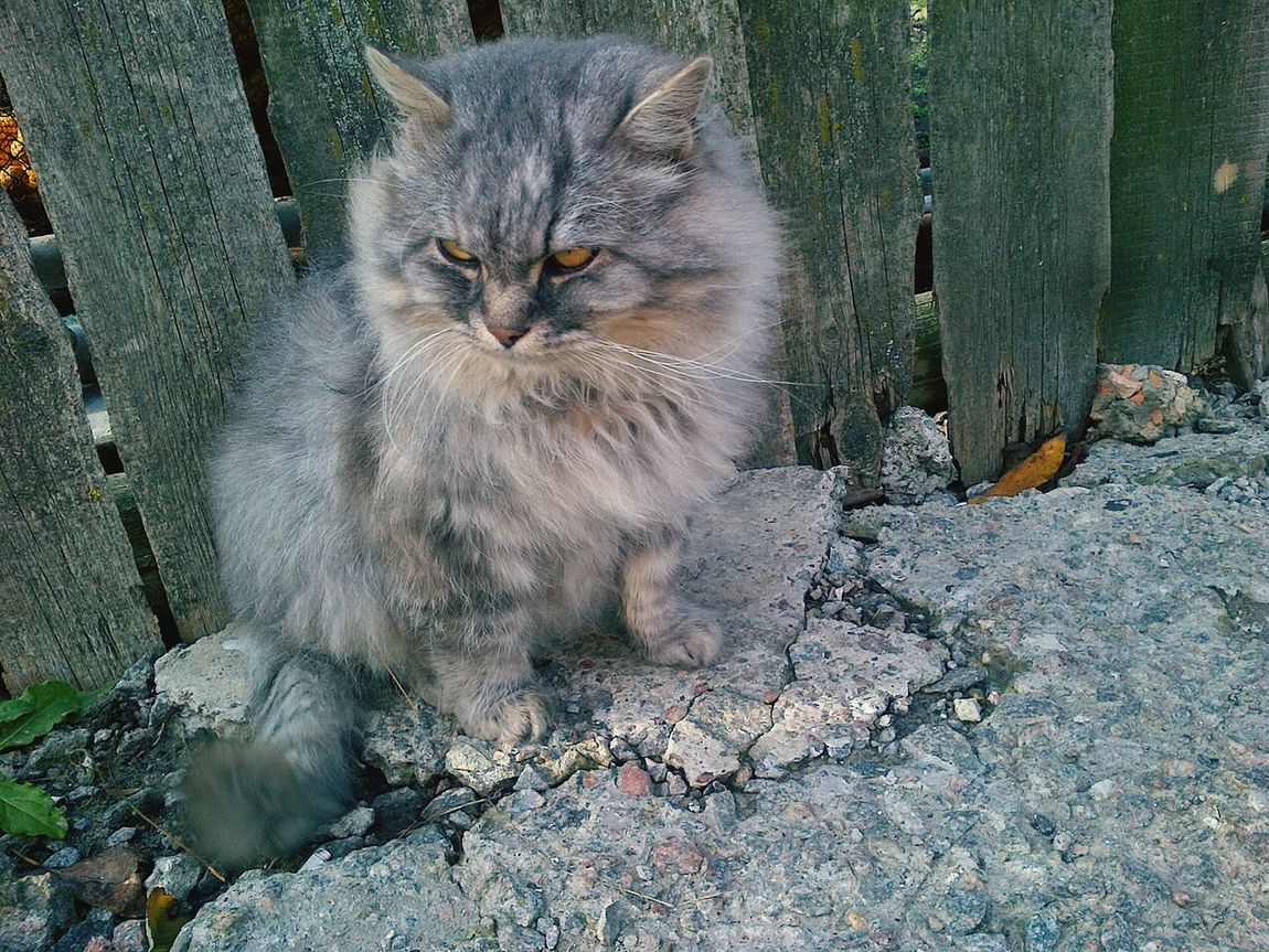 EyeEm Selects Domestic Cat Animal Themes Close-up Angry Cat Grey Cat Aristocratic Domestic Animals Yahotyn Ukraine
