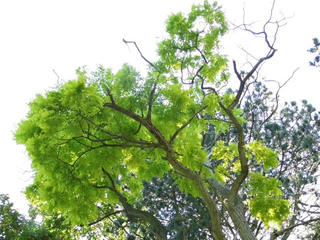 Beauty In Nature Branch Day Green Green Color Growth High Section Low Angle View Nature No People Outdoors Scenics Single Tree Sky Tranquil Scene Tranquility Tree Treetop