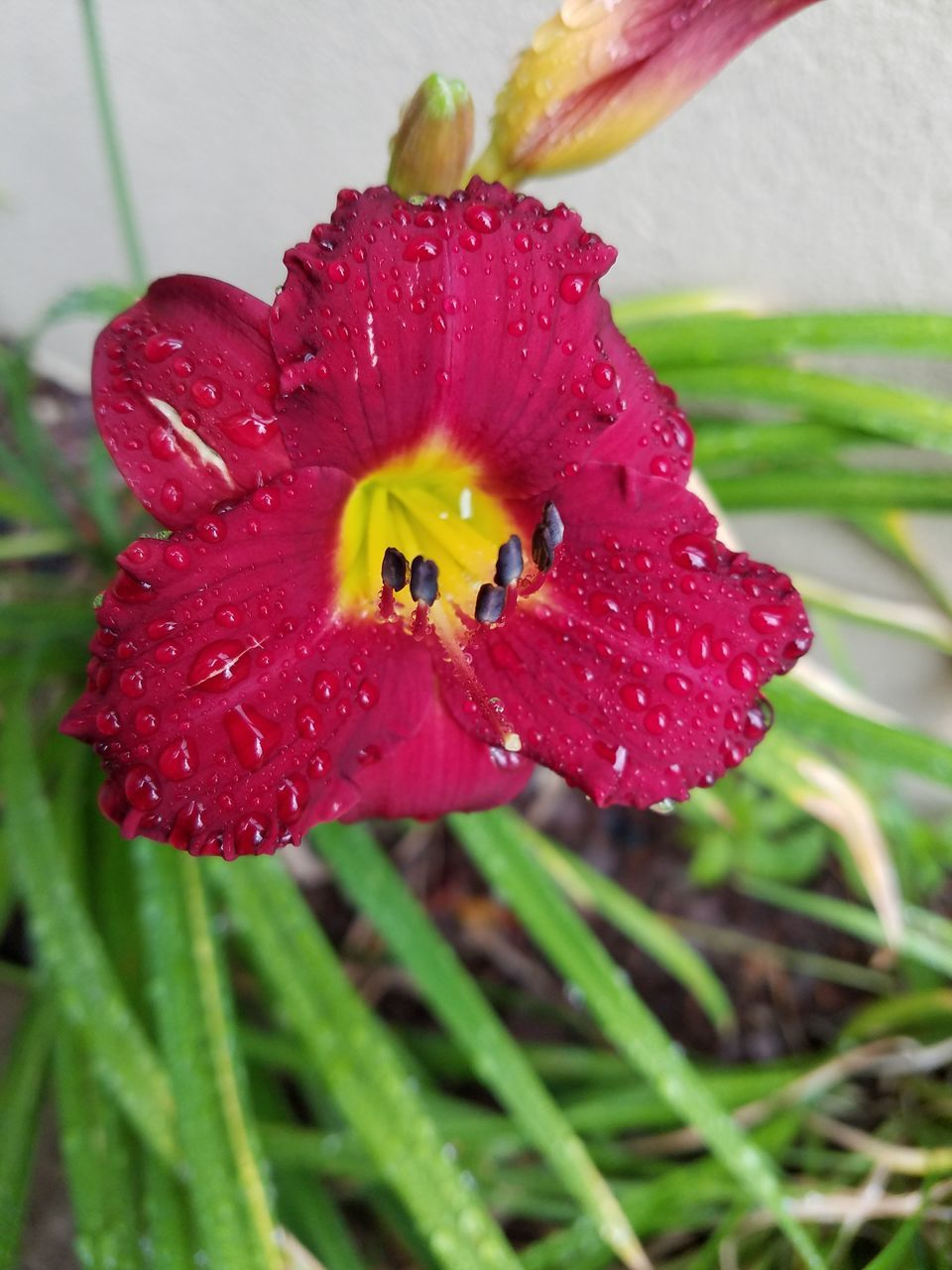 flower, nature, petal, red, drop, fragility, wet, beauty in nature, growth, flower head, water, freshness, plant, close-up, no people, outdoors, raindrop, day, one animal, animal themes, blooming, day lily