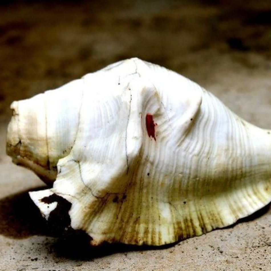 Shankh is a Conchshell . This Instrument has a strong association with the HinduReligion . It is said that when it is blown it announces the Victory of Goodoverevil . This instrument has limited Musical applications. Indianculture India Indian