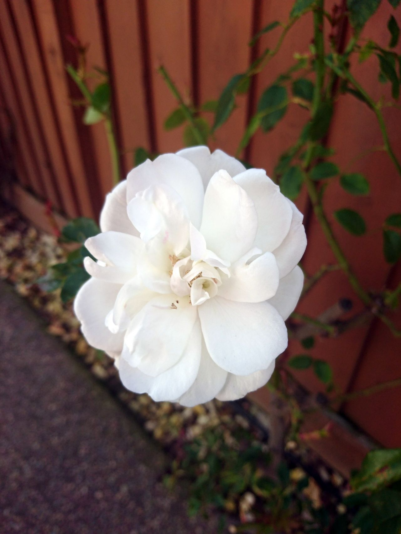 Flower Nature No People Close-up Flower Head Rose♥ White Flower Winter Beauty In Nature Outdoors Fragility Freshness Day
