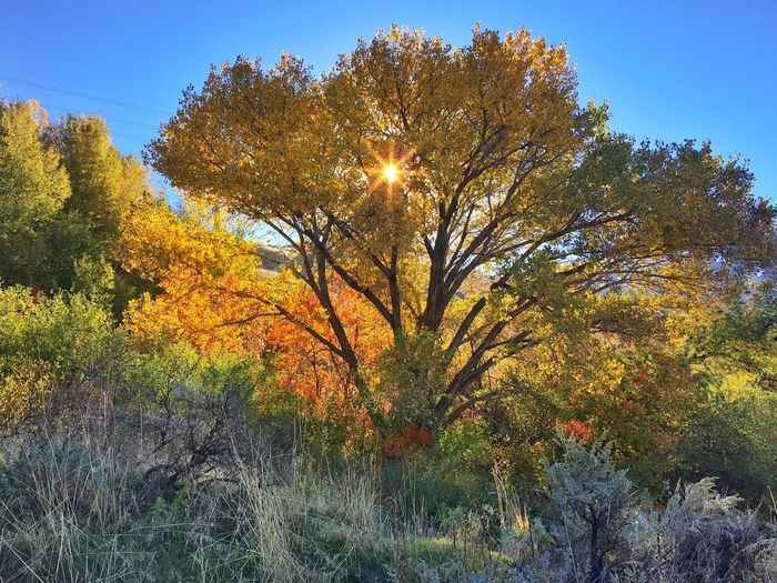Tree Autumn Season  Change Sun Sunlight Scenics Beauty In Nature Growth Tranquility Clear Sky Sunbeam Tranquil Scene Nature Branch Vibrant Color Majestic Blue Day Outdoors