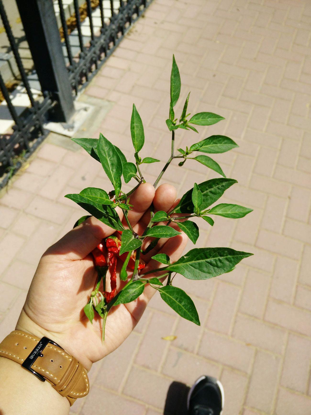 It's Hot in here 🌋😎🔥 Summer Vibes Humidity Dessertstory Dubai Uaegram Ilovenature Chili Plant Chilin' Chillies Hot Day HotChilli EyeEm Best Shots EyeEm Nature Lover