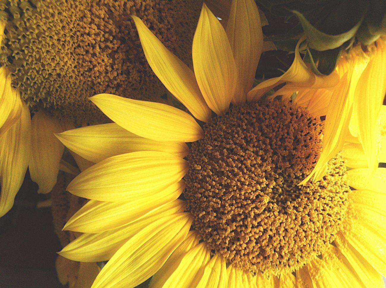 Flowers Flowerporn Flower Collection A Late Flower 秋咲向日葵