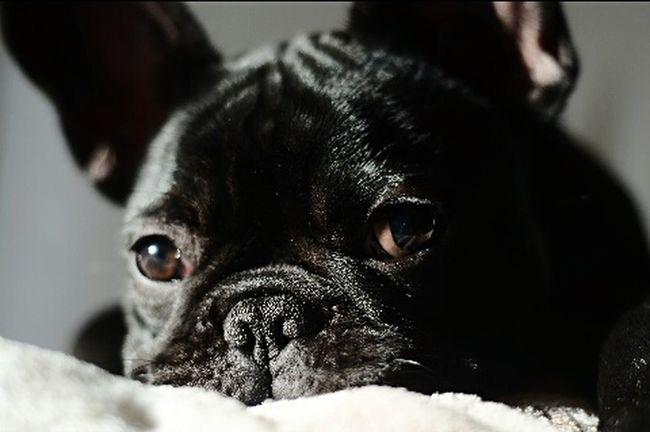 Nanna Dragon Nikon Nikon D7000 Bouledogue Francais Bouledogue Francese Bouledoguefrancais My Dog I Love My Dog❤ I Love My Dog Bulldog Francese Bouledogue Francese Piemonte