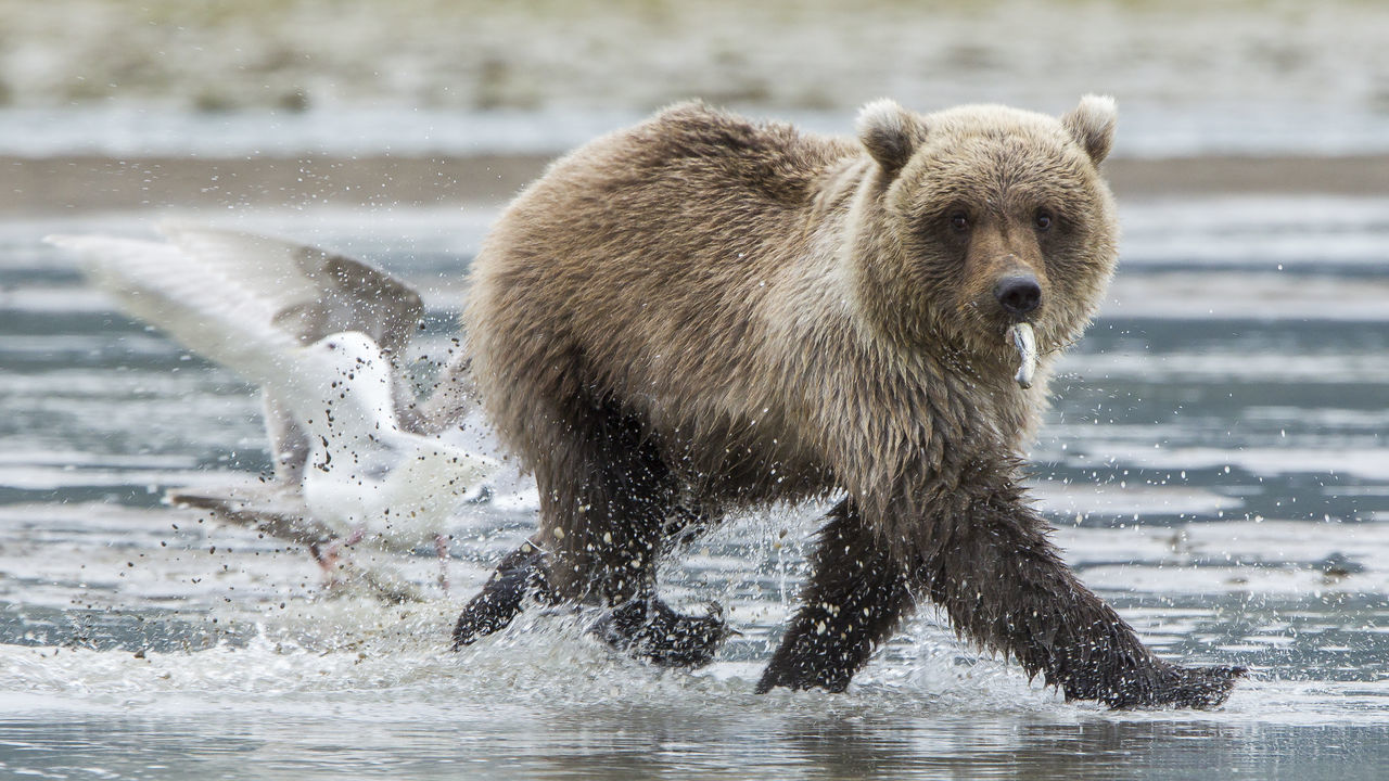 Funny posing bear Animal Themes Animal Wildlife Animals In The Wild Bear Day Funny Pose Grizzly Bear Mammal Nature No People One Animal Outdoors Water