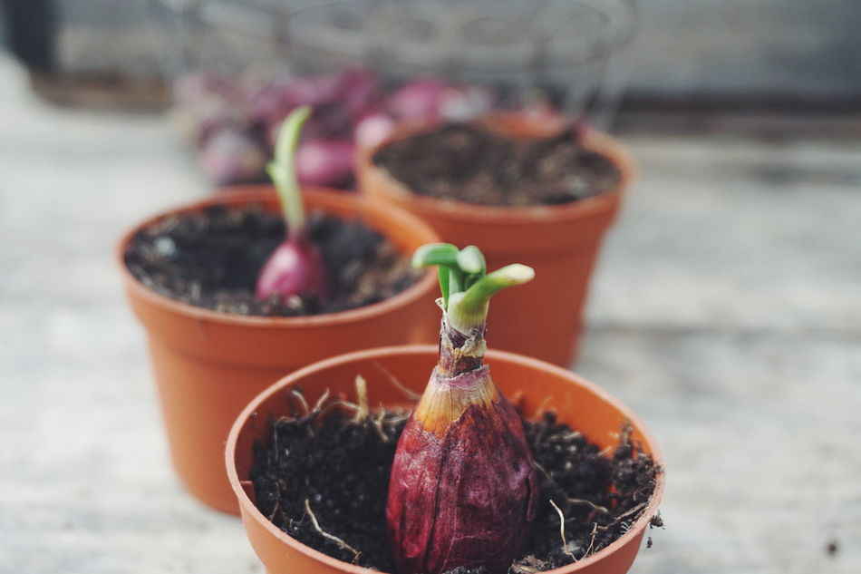 Planting and cultivation of red onions Close-up Day Focus On Foreground Food Food And Drink Freshness Garden Gardening Greenhouse Greenhouses Healthy Eating No People Onion Outdoors Plant Planting Planting Onion Plants Red Onion Red Onions