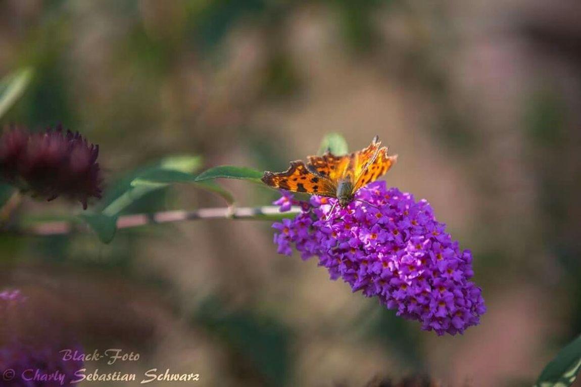 Trittau Schmetterling