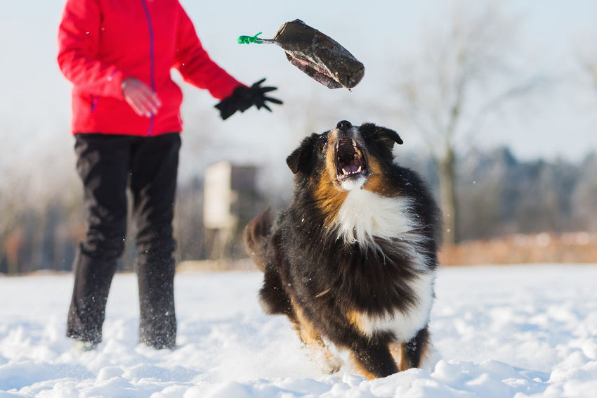Australian Shepherd running in the snow with a senior woman in the background A Action Animal Themes Bird Cold Temperature Day Dog Domestic Animals Field Focus On Foreground Mammal Nature One Animal One Person Outdoors People Pets Real People Retrieve Rural Scene Sky Snow Treat Bag Warm Clothing Winter