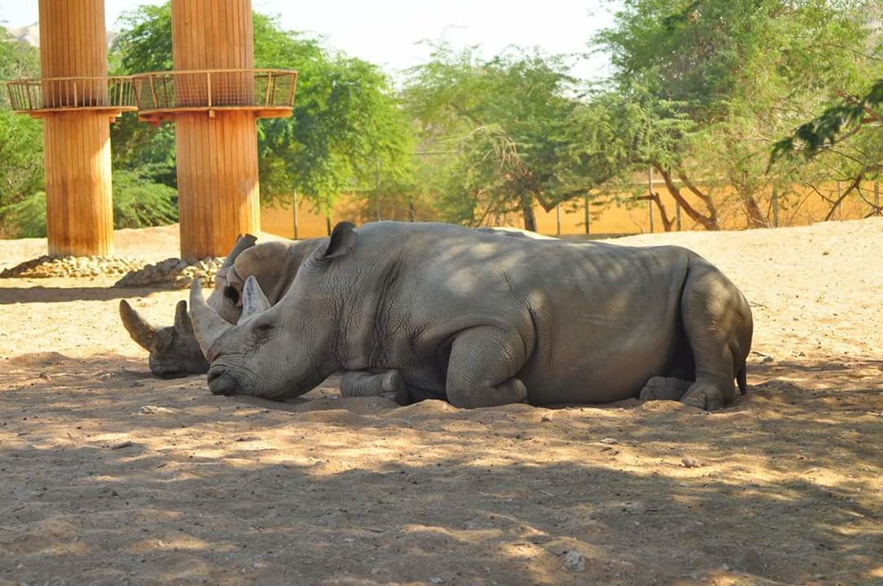 animal themes, animals in the wild, mammal, day, one animal, no people, outdoors, animal wildlife, sunlight, nature, tree, full length, safari animals, rhinoceros