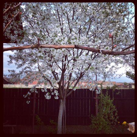 Cherry blossom Beautiful Nature