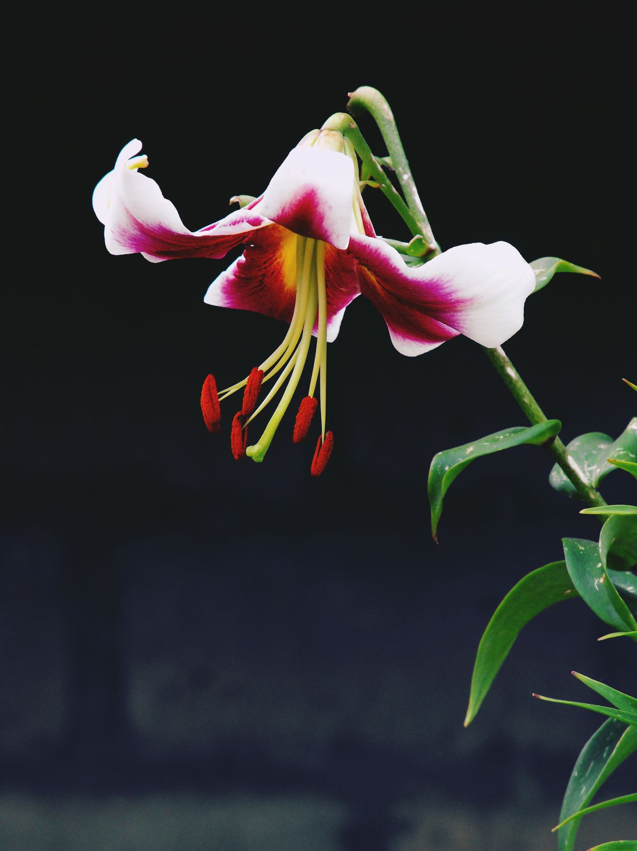 A lily in a garden by a brick wall, dark background Pink Color Black Background Close-up Full Length No People Nature Freshness Flower Head Day Lily Lilies Elégance Fragility Petals Summer Garden Pink Elegant Shadow Beauty In Nature Nature Floral Photography Floral