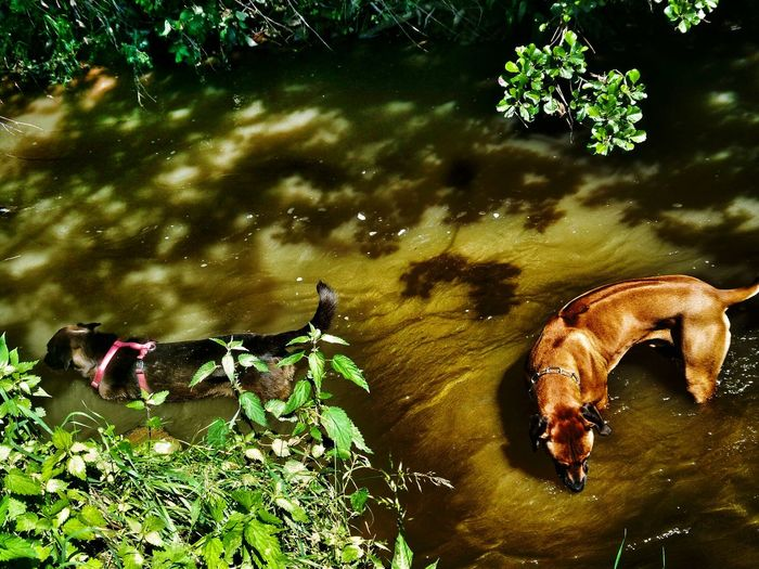 Waterfun Refreshing Water Dogs In The River Hot Summer Day And Cool Water Two Dogs From Above Rhodesian Ridgeback and Labradenco Riverside Landscape Natural Beauty Nature Bushes And Trees No People Kinzig River Germany🇩🇪 Showcase June Dramatic Angles