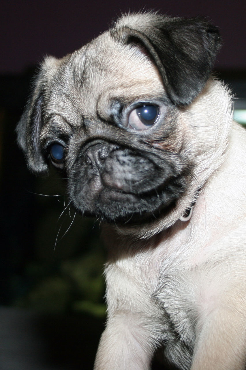 pets, one animal, domestic animals, dog, animal themes, mammal, pug, indoors, close-up, portrait, no people, day