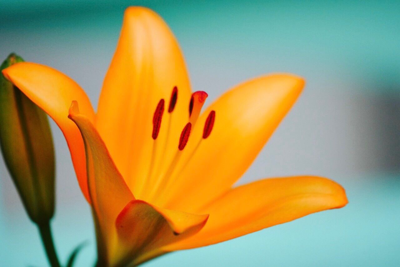 flower, petal, freshness, flower head, fragility, beauty in nature, growth, nature, lily, close-up, yellow, no people, stamen, selective focus, day lily, blooming, day, plant, springtime, outdoors