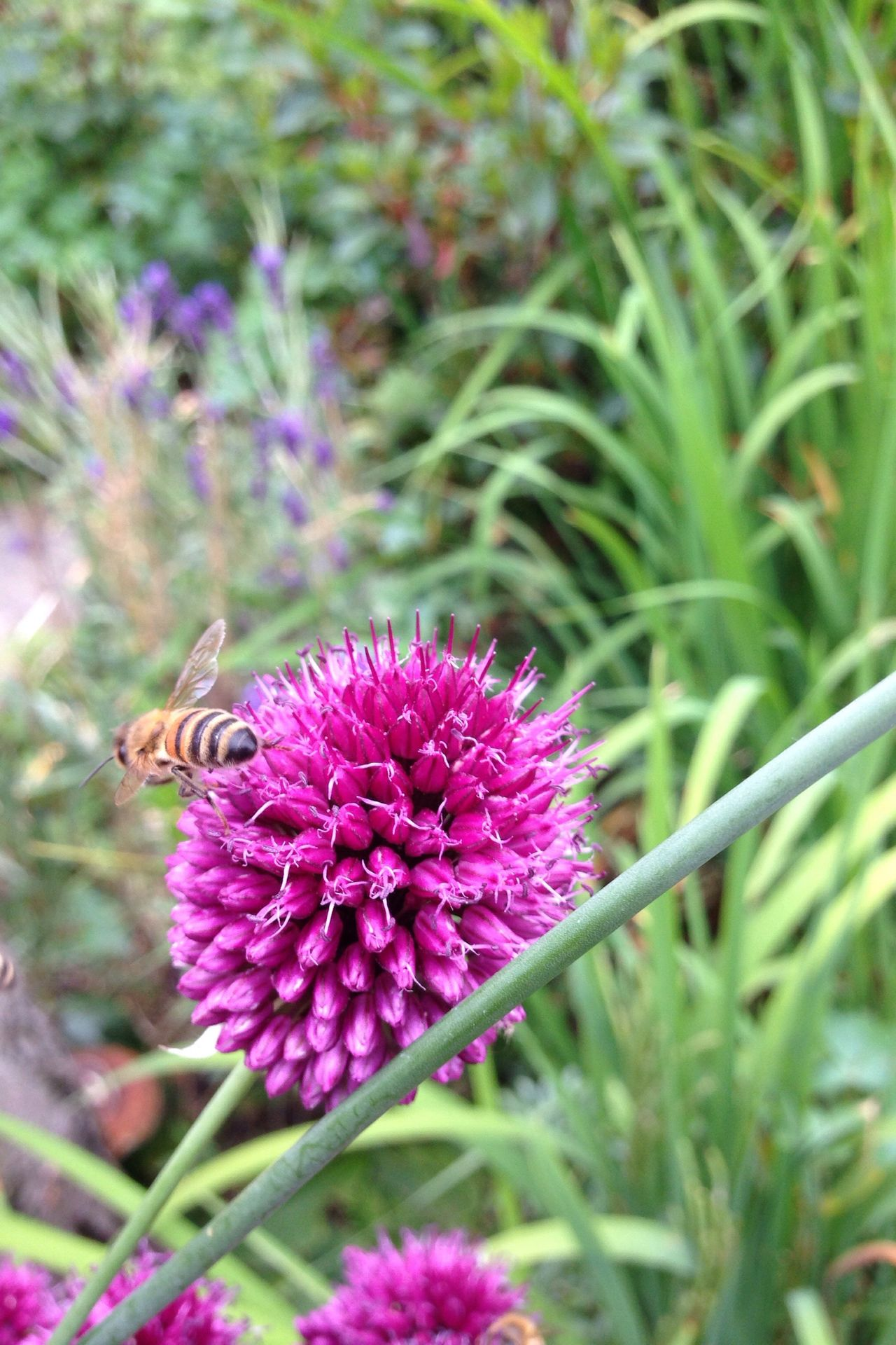 Allium Sphaerocephalon Allium Flower Bee Bees And Flowers Bees Garden Garden Photography Zierlauch Lauch Kugellauch