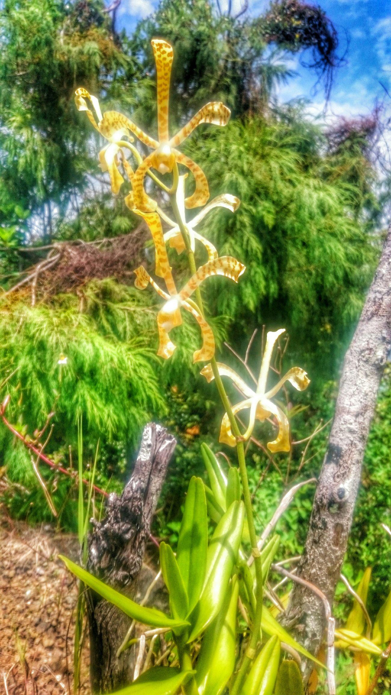 Beautiful Flowers Anggrek Kayupulo Jayapura Papua Island