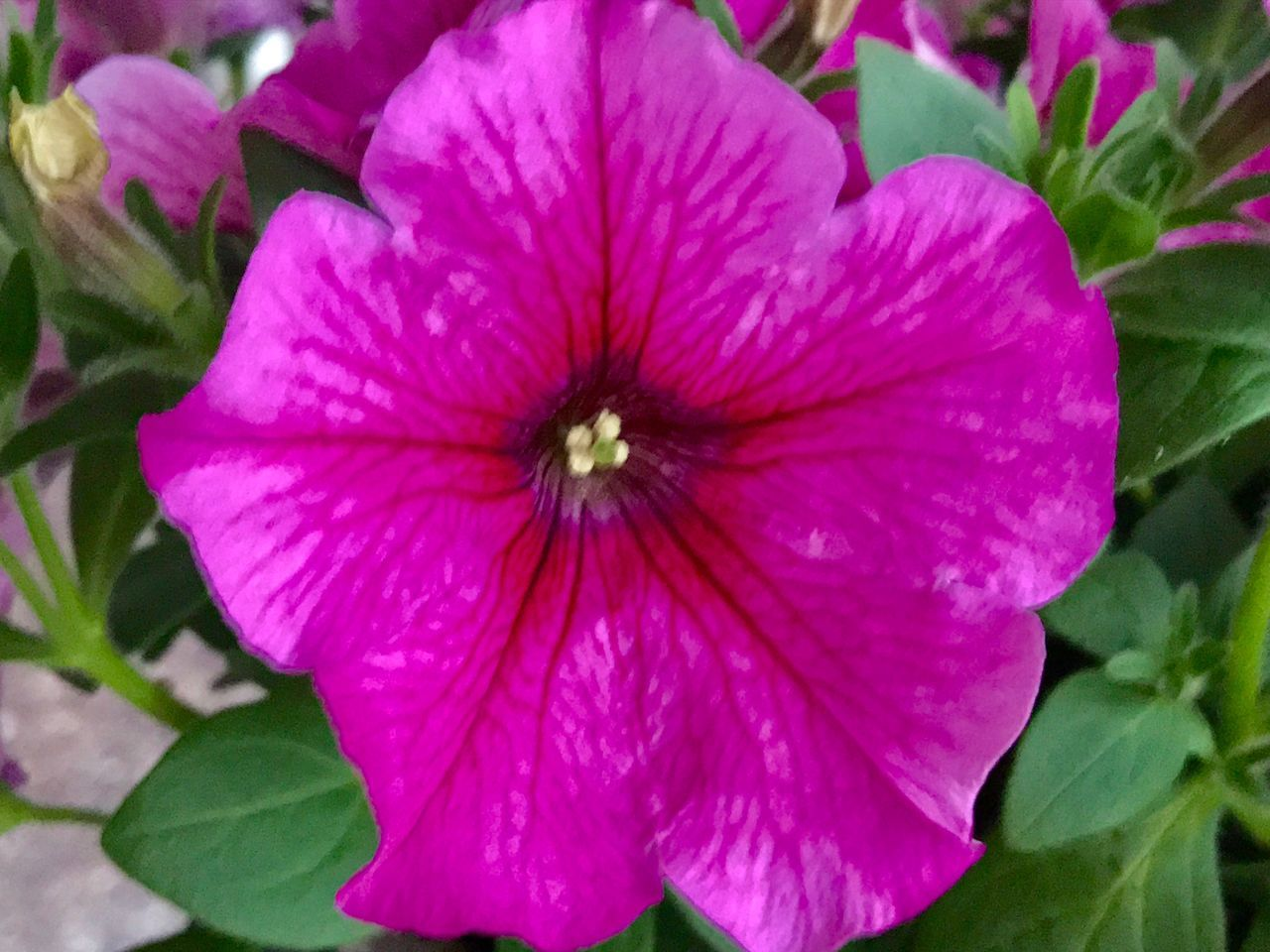 flower, petal, fragility, growth, flower head, plant, beauty in nature, freshness, nature, blooming, pink color, day, leaf, no people, outdoors, petunia, close-up