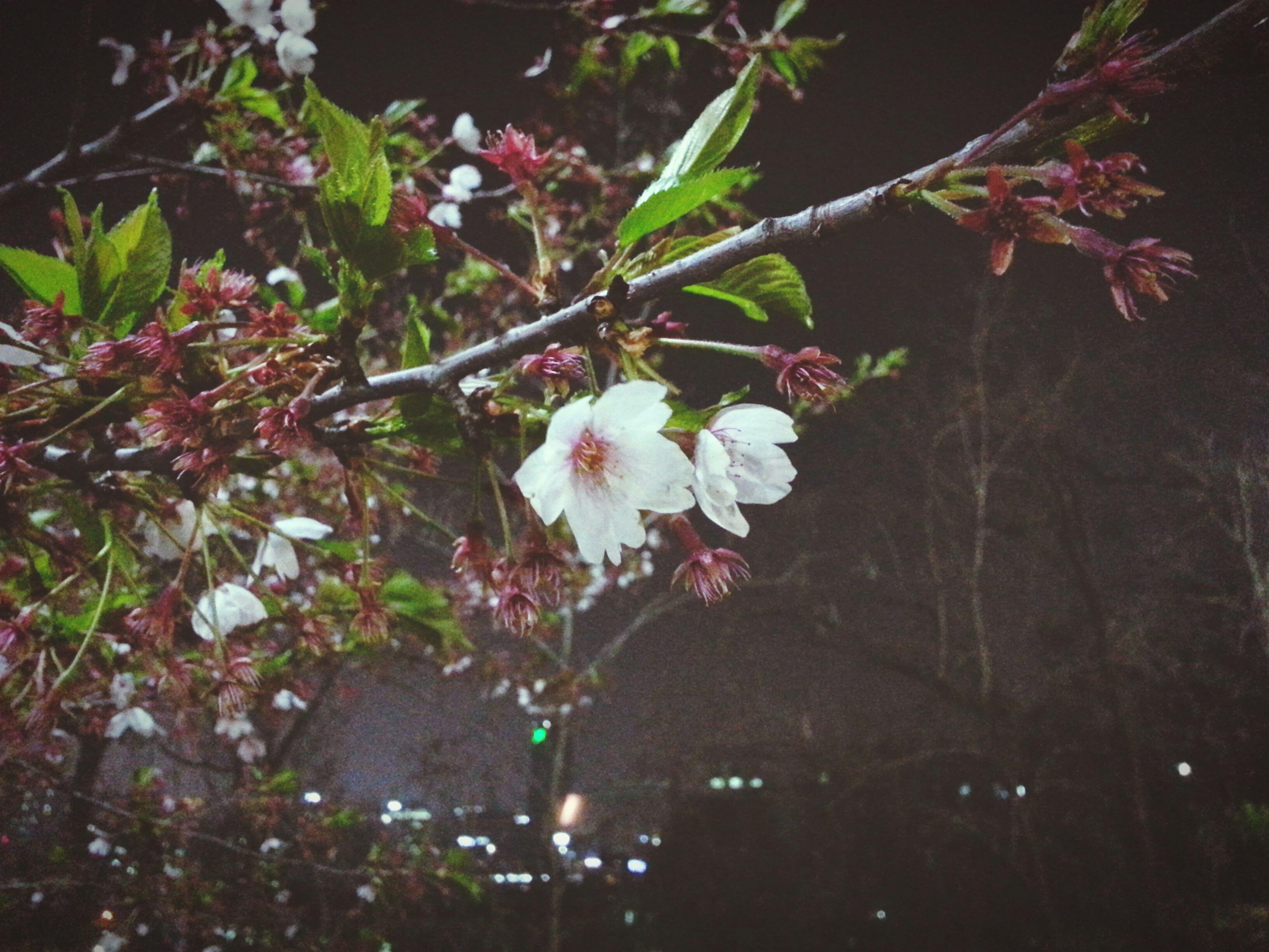 Last Cherry Blossom. Byespring.