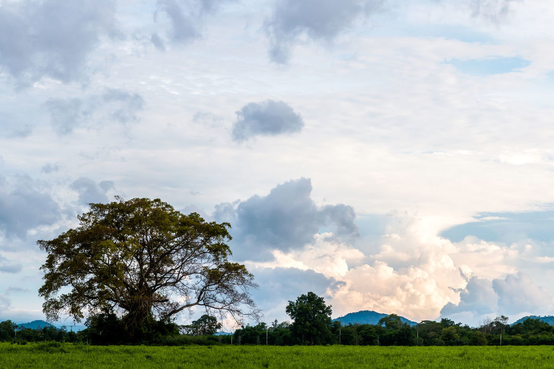 Craib tree (ormosia) in the meadow. Background; Beauty; Big Tree Blue Sky; Cloudy; Colorful; Craib Tree; Dusk; Evening; Field; Haze; Landscape; Meadow; Nature; Outdoors; Park; Shadow; Sky; Sunset; Tropical; White Cloud;