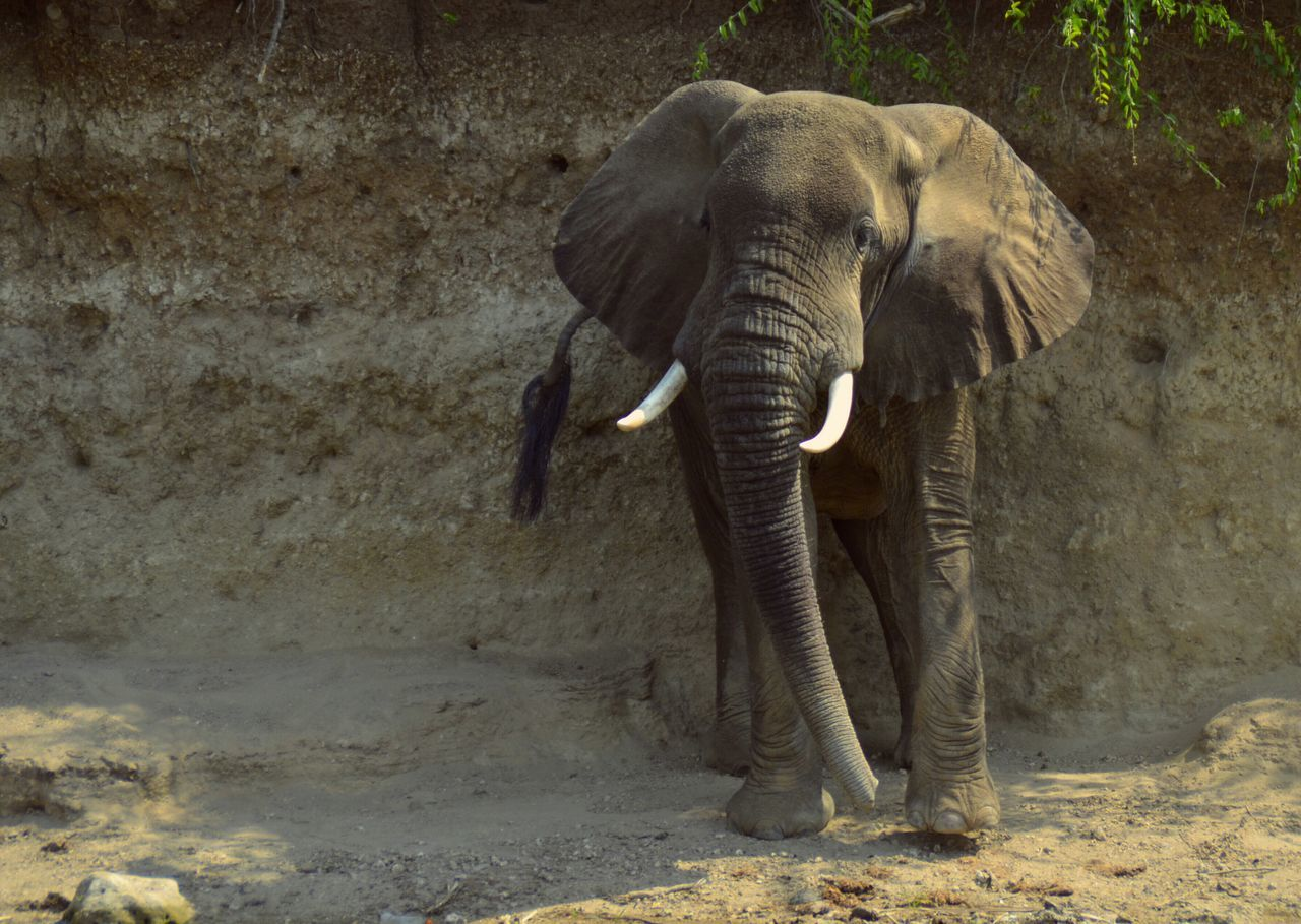 Beautiful stock photos of elephant, Animal Themes, Day, Elephant, Front View