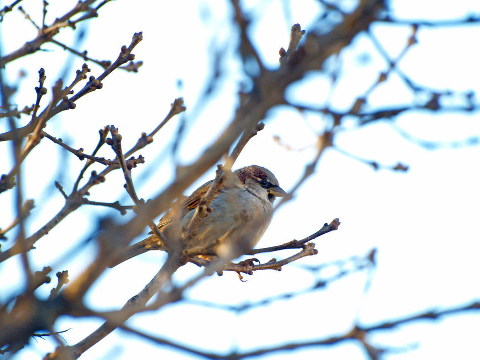 Animal Themes Animal Wildlife Animals In The Wild Animals In The Wild Bare Tree Beauty In Nature Bird Birds Branch Close-up Day Low Angle View Nature No People One Animal Outdoors Passer Passer Domesticus Perching Sparrow Sparrows Sparrows Feeding Tree Winter