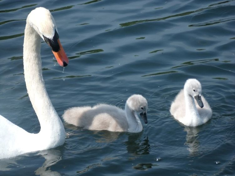#animals #nature #swans