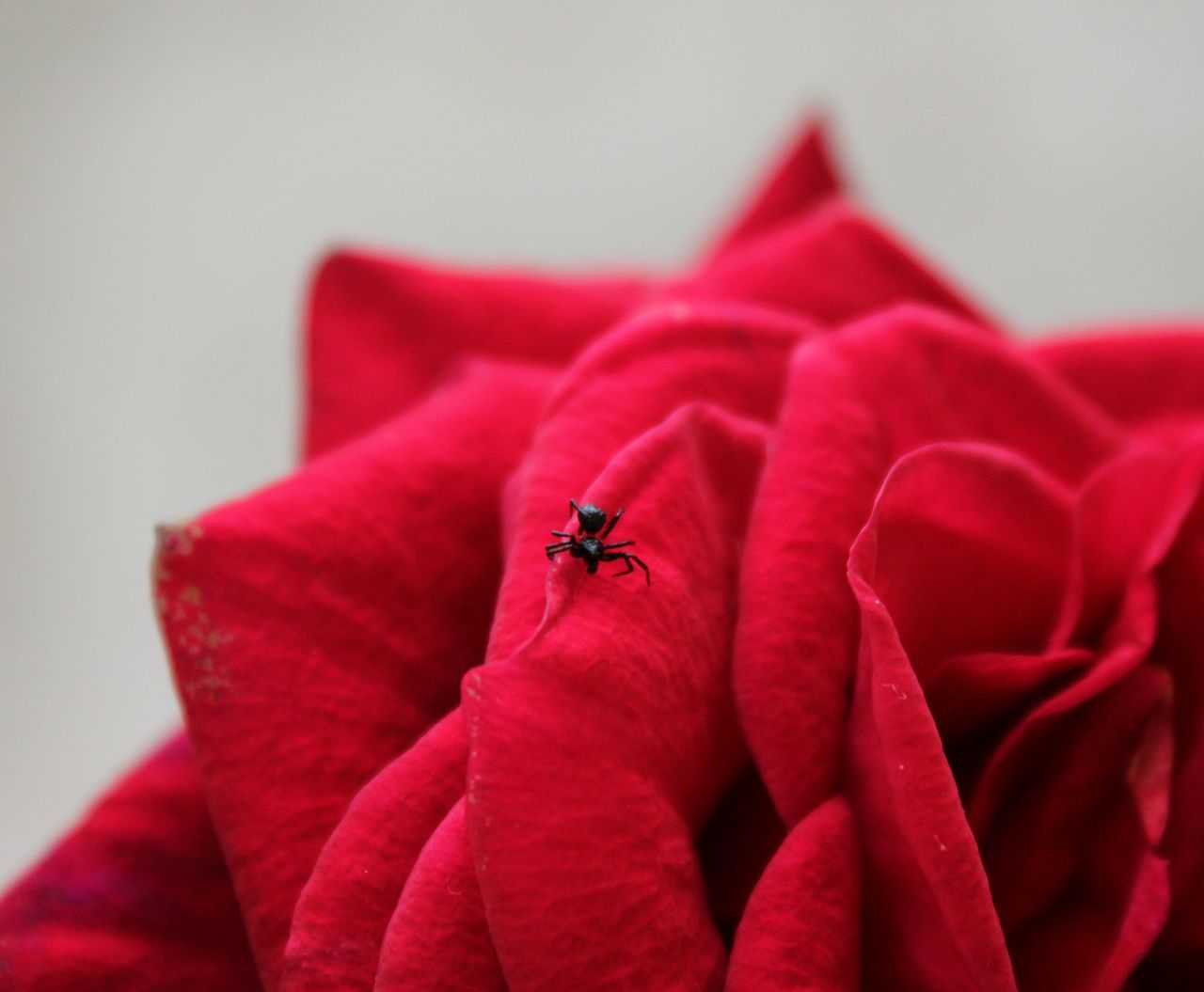 Red Insect One Animal Animals In The Wild Close-up White Background Nature No People Animal Themes Redrose  Red Roses Red Flowers Botany Floral Fragrance Of Nature Beautiful Nature Beauty In Nature Gardening Plant Plants And Flowers Life In Color