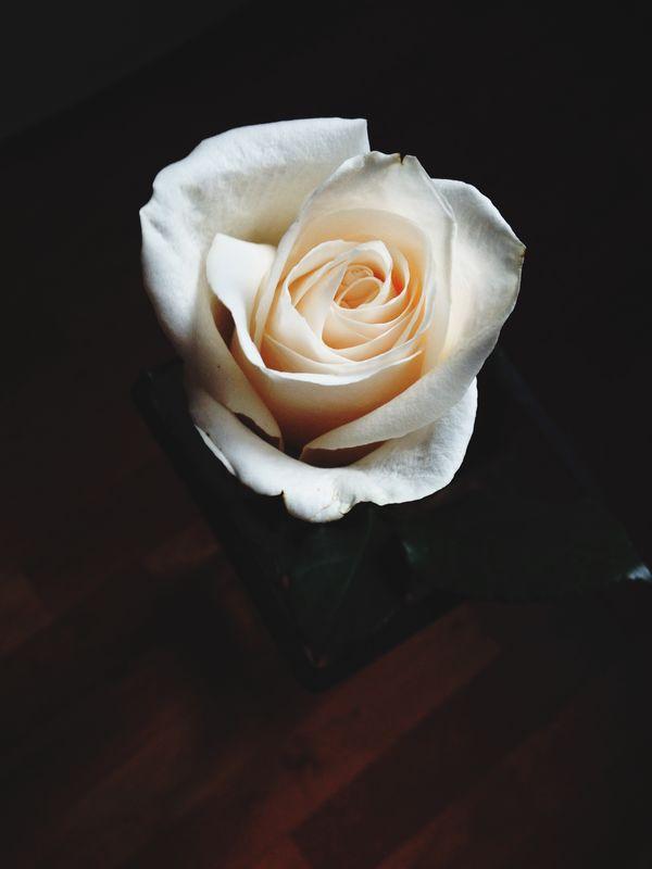 роза белая роза Rosé