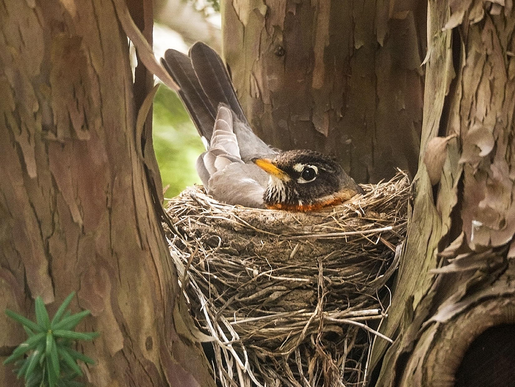Happy Mom's Day! Mothersday Robin Birds Nest East Chatham NY Hudsonvalley Columbia County Upstateny New York Signs Of Spring