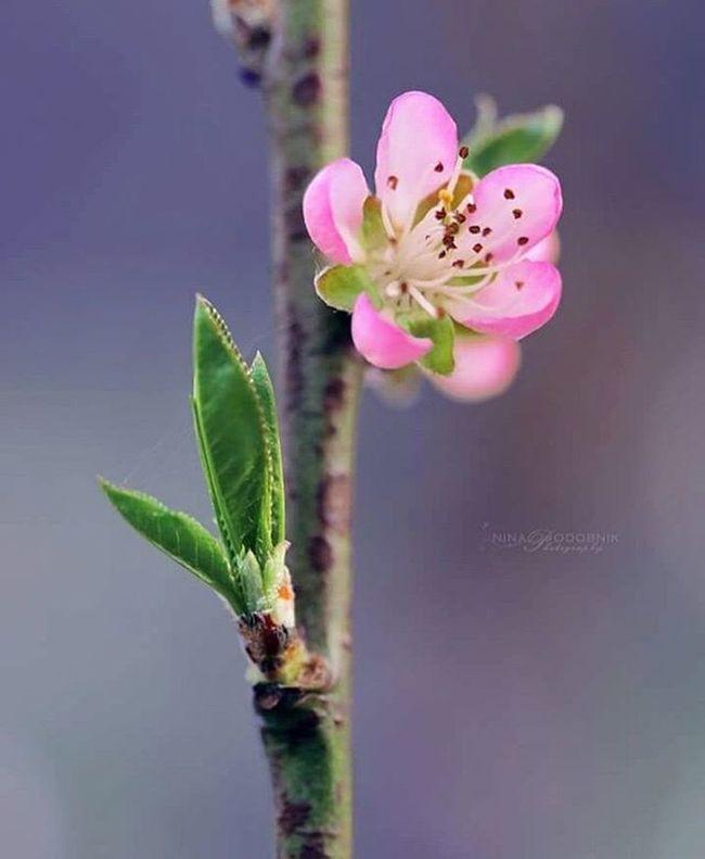 Peach blossom 🌼 Peach Blossom Springmood Springtime Spring TreePorn Blossoms  Springtimefun Nature Naturelovers Natureshots Natureza Photooftheday Nature_captures Naturephotography Macrophotography Macro_captures